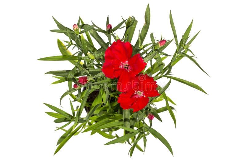 R?d tr?dg?rdnejlika i en blomkruka p? en vit bakgrund royaltyfri fotografi