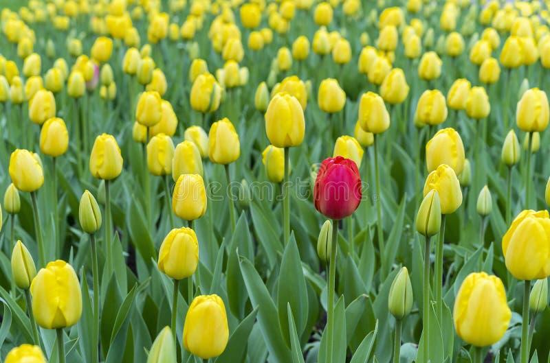 R?d tulpan i en blomsterrabatt med gula tulpan arkivfoto