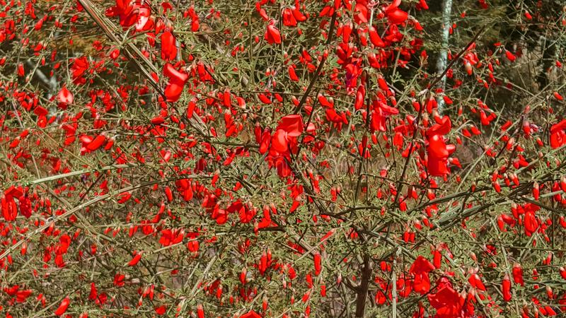 R?da blommor i tr?dg?rd Sk?nheten i natur arkivbilder