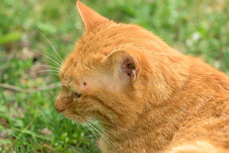 R?da kattl?gner kopplade av i gr?set och har en f?sting ?ver ?gat p? huvudet royaltyfria foton