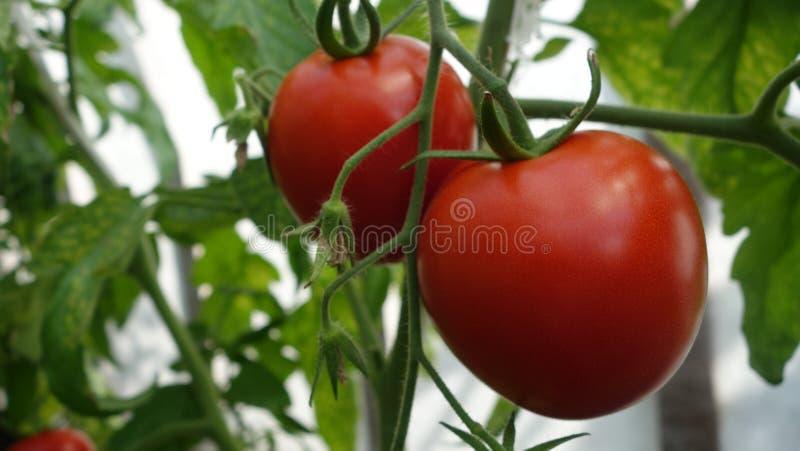 R?da tomater p? en filial royaltyfri fotografi