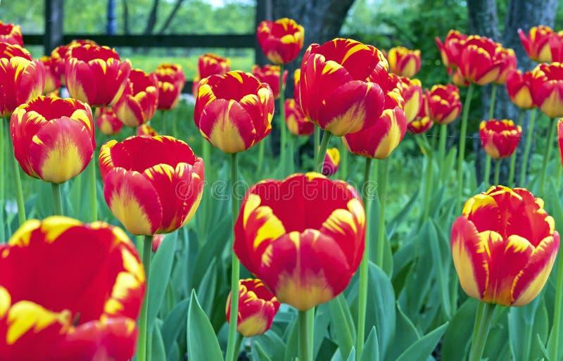 R?da tulpan med en gul gr?ns i en blomsterrabatt av staden parkerar royaltyfri bild