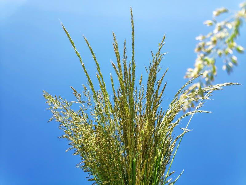 ?r?dpolna trawa przeciw niebu obrazy royalty free