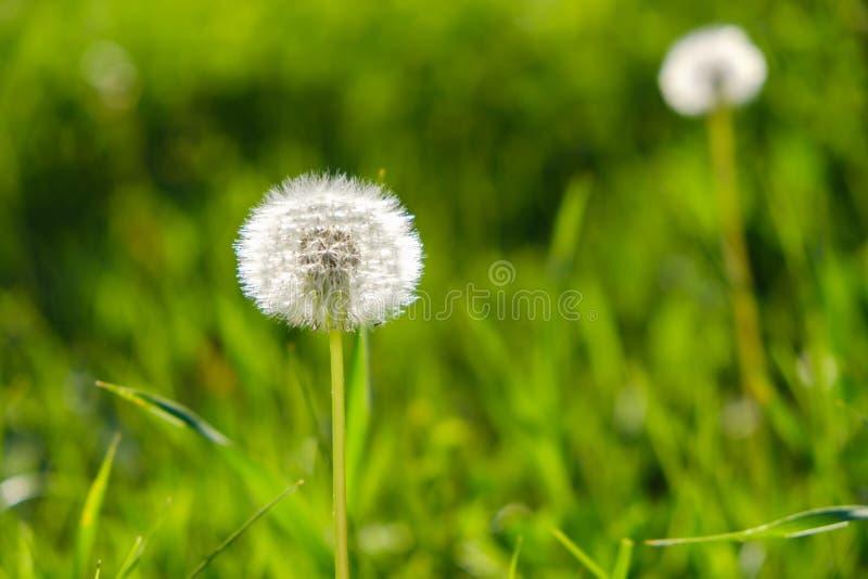 ?r?dpolnego t?a okwitni?cia kwiecisty dandelion Lato zdjęcie stock