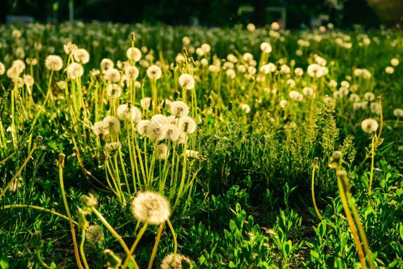 ?r?dpolnego t?a okwitni?cia kwiecisty dandelion sunlight fotografia royalty free