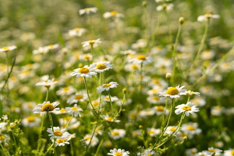 ?r?dpolnych chamomiles kwiat?w zbli?enie fotografia stock