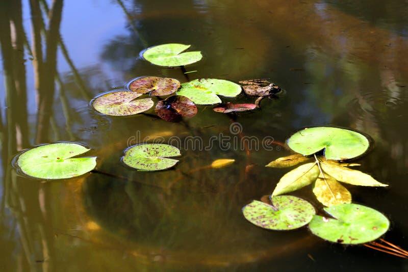 R? em uma lagoa com l?rios de ?gua imagem de stock royalty free