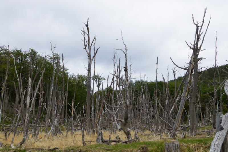 R?gion bois?e d?truite par des castors, parc de Tierra del Fuego, Argentine photos libres de droits