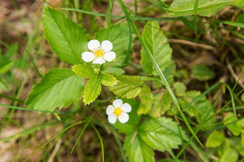r Glade леса Цветя дикие клубники r r стоковое изображение