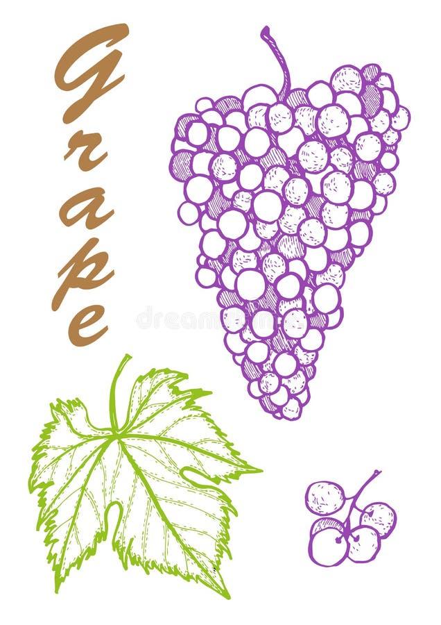 R?ka rysuj?ca ilustracja winogrona Botaniczna ilustracja owoc ilustracja z nakre?lenie owoc obraz royalty free