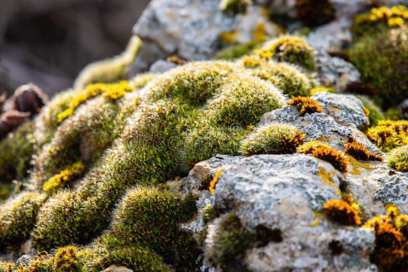 r?knad mosssten H?rlig mossa och lav t?ckt sten Ljust - gr?n mossabakgrund som textureras i natur Selektivt fokusera royaltyfri fotografi
