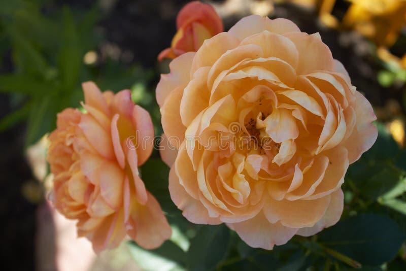 R kwiaty przy chałupą obraz stock