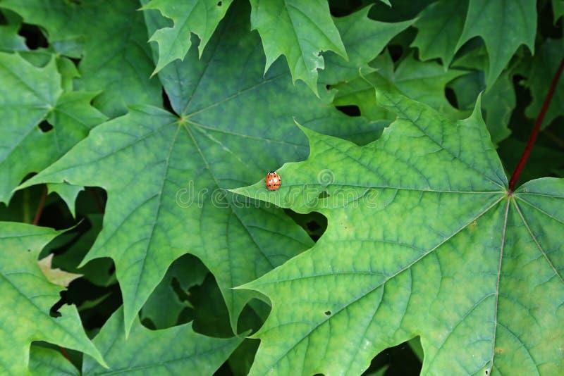 r Ladybird сидит на зеленых кленовых листах стоковая фотография