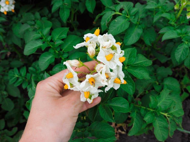 r Mano che tiene piccolo fiore nel giardino Fiori della patata della tenuta della mano fotografia stock libera da diritti
