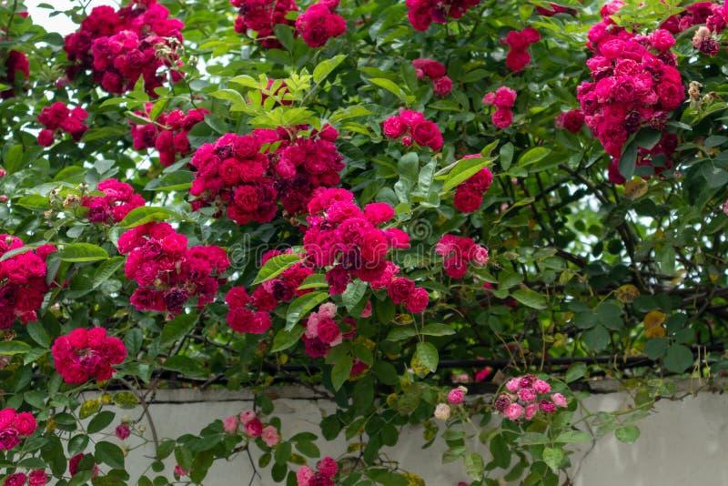 r multiflora Thunb var carnea Rosa centifolia L zdjęcie stock