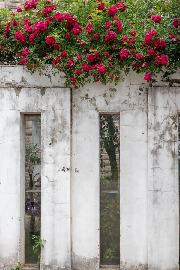 r multiflora Thunb var centifolia L de Thory-Rosa de carnea photos libres de droits
