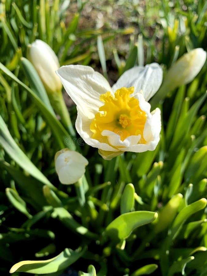r Narcissus Daffodil предпосылки с желтыми бутонами и листьями стоковое фото rf