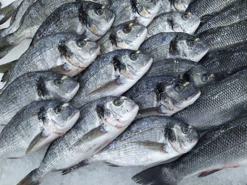 R? ny gilt-huvud braxenfisk p? medelhavs- marknadsr?knare Många fisk Dorado För havsbraxen för närbild rå ny fisk på is in royaltyfri bild