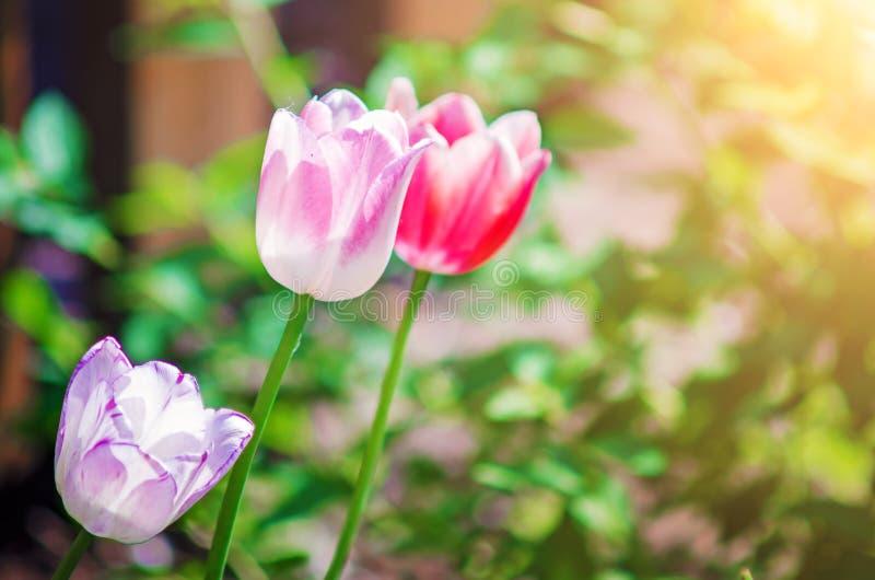 R??owi tulipany w ?wietle s?onecznym obraz stock