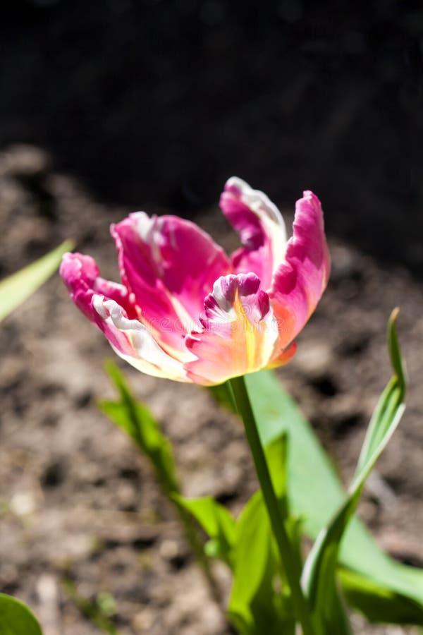 R??owy brindled tulipanowy zbli?enie zdjęcia stock