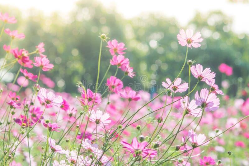 R??owy kosmos?w kwiat?w pole, krajobraz kwiaty obraz royalty free