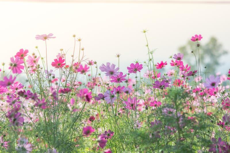 R??owy kosmos?w kwiat?w pole, krajobraz kwiaty zdjęcia stock