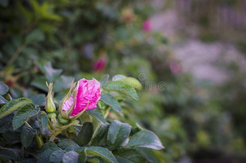 R??owy kwiat r??ani biodra fotografia royalty free