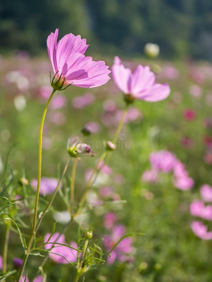 r??owy kwiat kosmosu fotografia stock