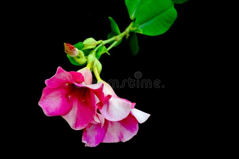 R??owy kwiat odizolowywaj?cy na czarnym tle zdjęcia stock
