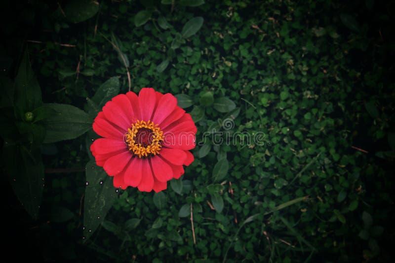 R??owy kwiat fotografia royalty free