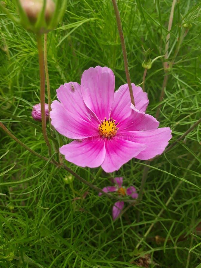 R??owy kwiat w ogr?dzie zdjęcia royalty free