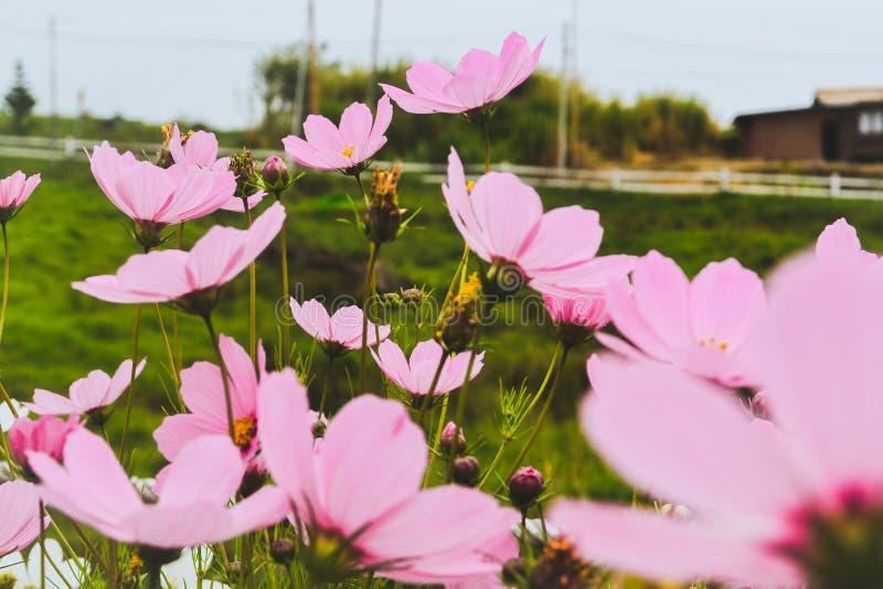 R??owy kwiat z trawy polem jako t?o zdjęcie stock