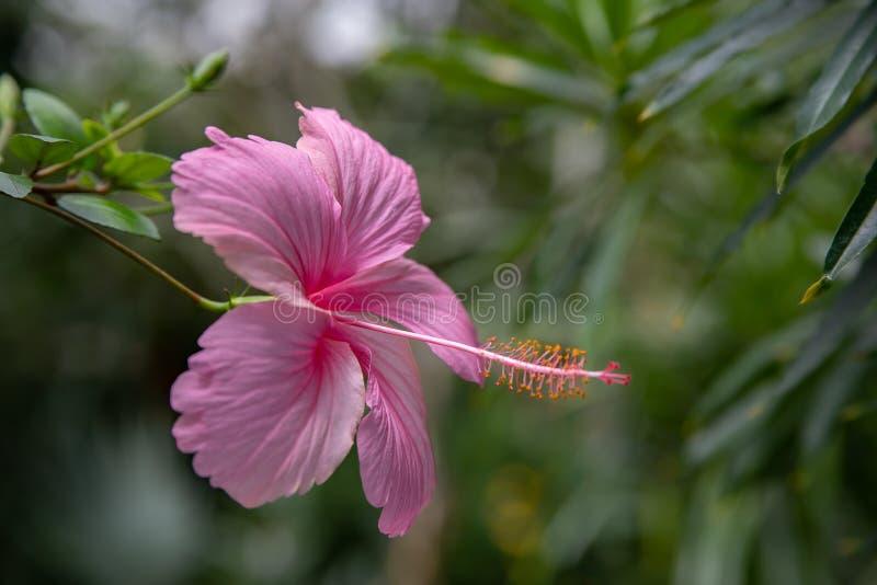 R??owy po?lubnika kwiat na zielonym tle W tropikalnym ogródzie zdjęcie royalty free