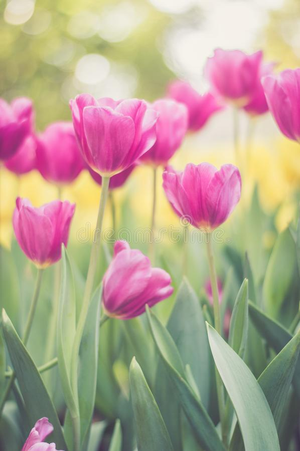R??owy tulipanu kwiat w ogr?dzie fotografia royalty free