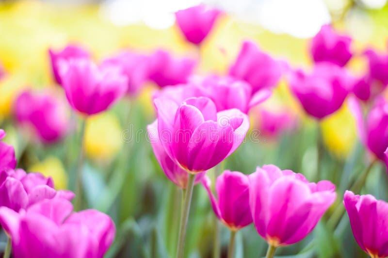 R??owy tulipanu kwiat w ogr?dzie zdjęcia stock