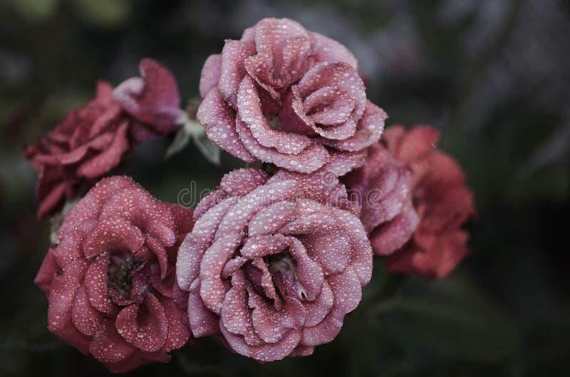 Różowych Petaled kwiatów Zamknięta Up fotografia zdjęcia stock