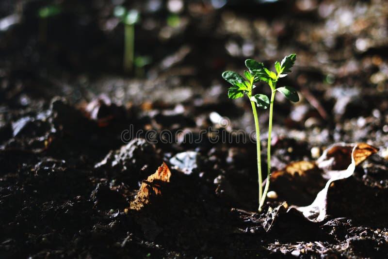 R roślinę, fotografia royalty free