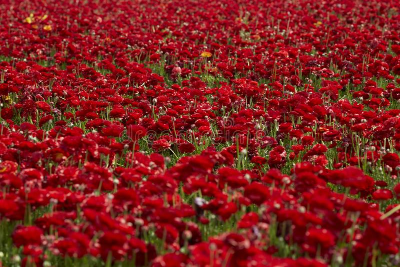 R?tt ranunculusf?lt i Israel Persisk sm?rblomma som blommar blommor royaltyfri fotografi