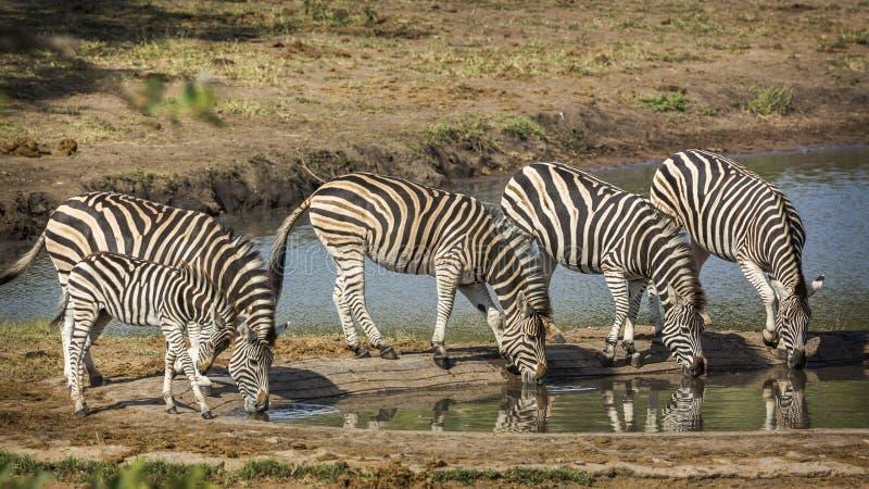 R?wniny zebra w Kruger parku narodowym, Po?udniowa Afryka obrazy stock