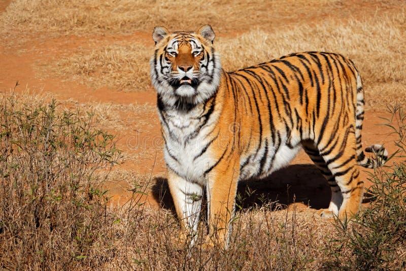 Raźny Bengalia tygrys obrazy royalty free