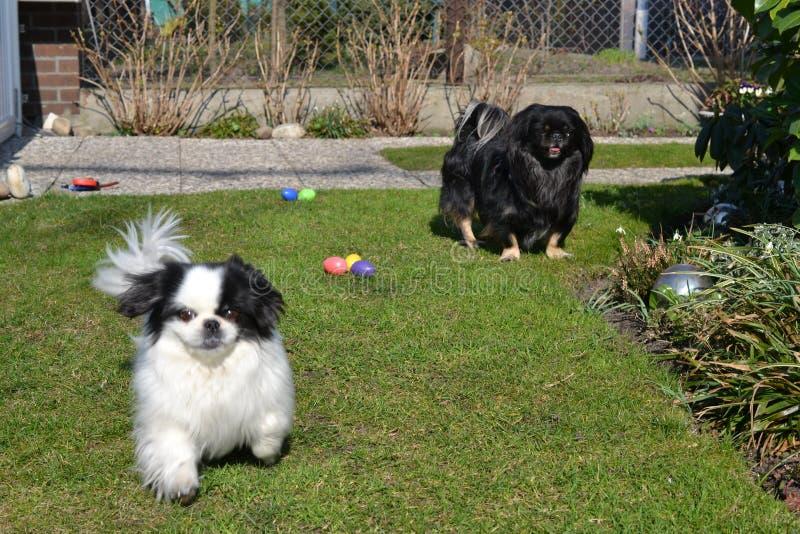 Raça adorável dos pares do pequinês, a branca e a preta, a curto e a longa do cabelo que joga junto no jardim, cachorrinho do cão fotografia de stock