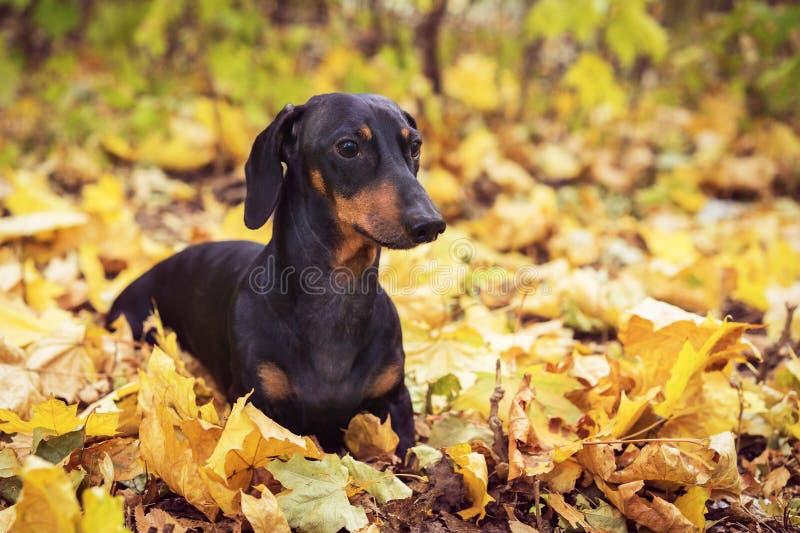 A raça bonito do cão do retrato do bassê, preto e bronzeado, senta-se em uma pilha das folhas de outono em um parque fotografia de stock