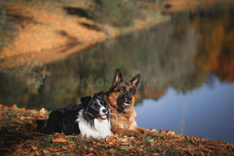 Raça border collie do cão e pastor alemão imagem de stock