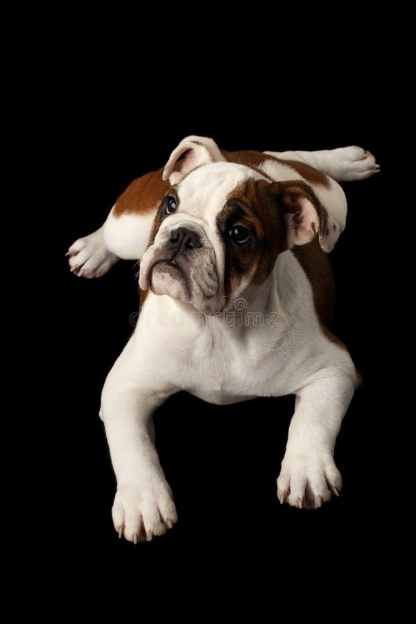 Raça britânica do cachorrinho do buldogue no fundo preto isolado foto de stock royalty free