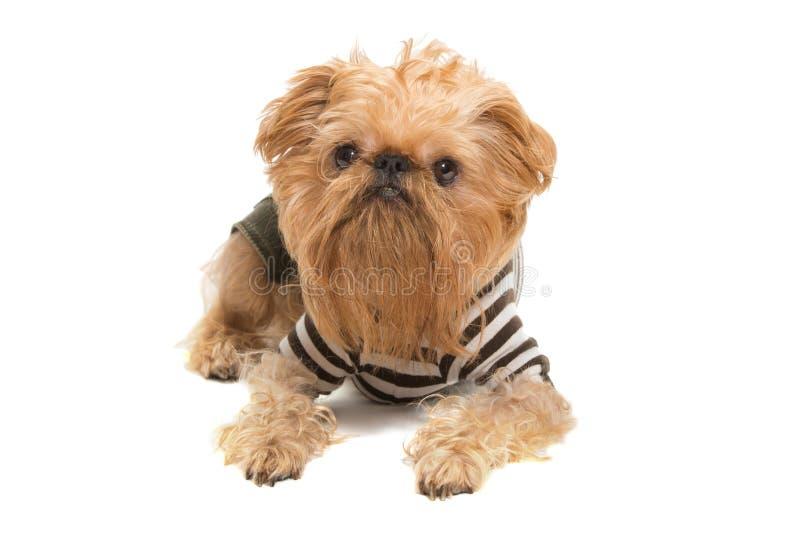 Raça Bruxelense Griffon do cão fotografia de stock