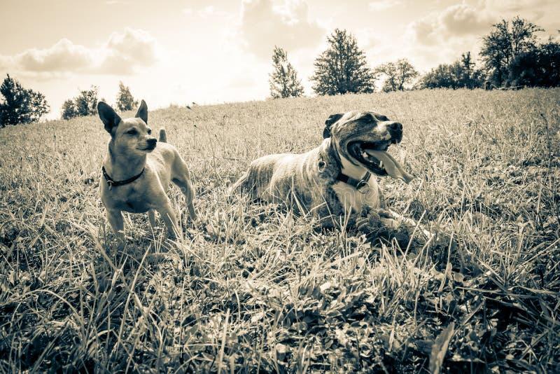 Raça Burbul do cão e pinscher diminuto na natureza no parque no close-up do verão Foto velha preto e branco do vintage do grunge foto de stock