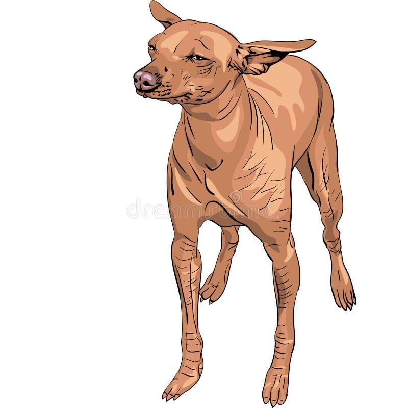 Raça Calva Mexicana De Xoloitzcuintle Do Cão Fotos de Stock Royalty Free