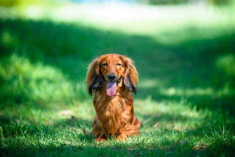 Raça canina Dachshund na floresta em clareamento Sunny foto de stock
