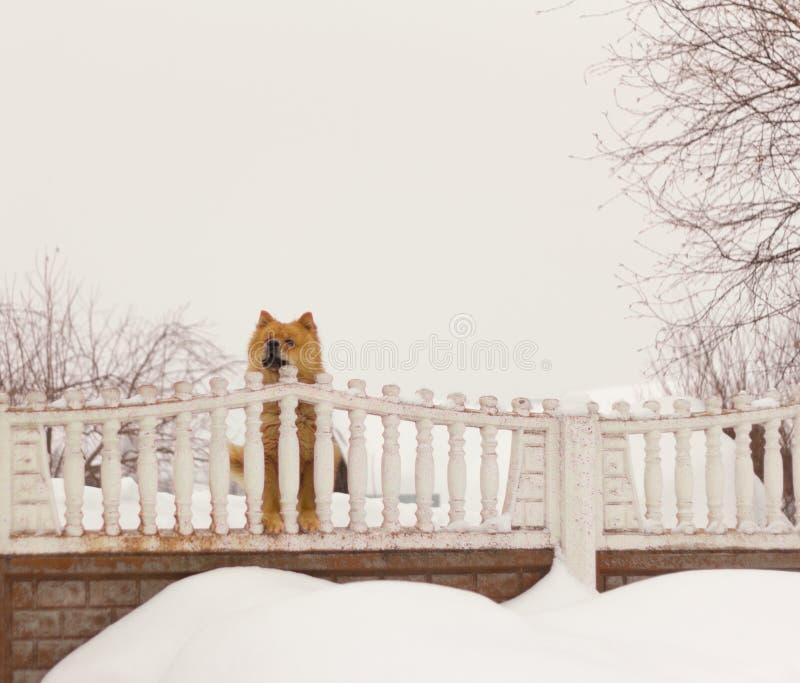 A raça Chow Chow do cão olha a rua atrás da cerca imagem de stock royalty free