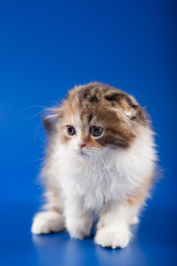 Raça da dobra do scottish do gatinho foto de stock royalty free